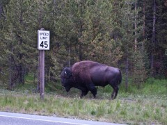Old Faithful, Elks and Buffalo Watching Mark Day 24th Day of PapiBlogger Journey Thumbnail