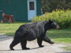 Day 18 of the Miami to Alaska Family Road Trip: Tripping with Bears in Juneau, Alaska Thumbnail